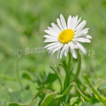 Leucanthemum vulgare, the ox-eye daisy